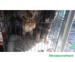 lab gsd dog on sale at kathmandu nepal