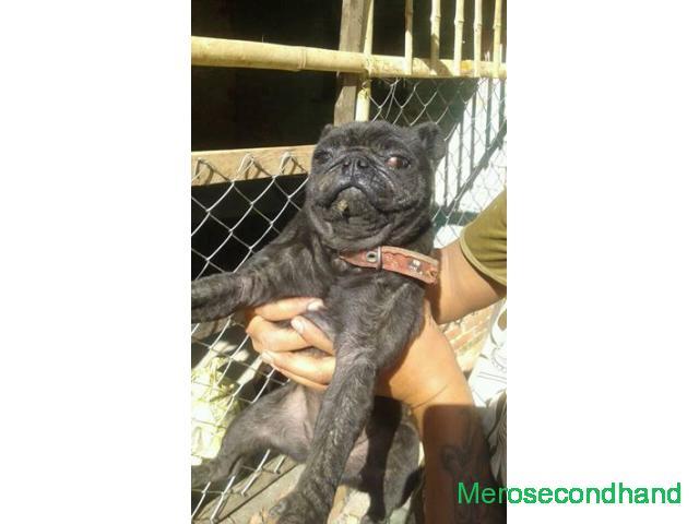 Black pug dog on sale at kathmandu nepal - 1/1