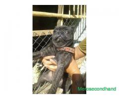 Black pug dog on sale at kathmandu nepal