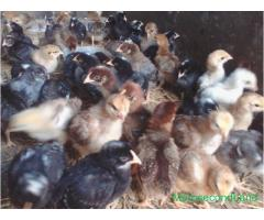 Giriraj Baby-chickens are sale at pokhara