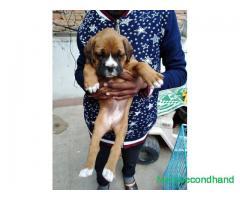 High quality boxer dog on sale at kathmandu