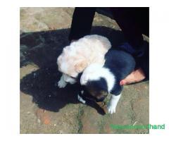 Puppys on sale at kathmandu