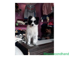 Japanese spitz 4 months old puppy on sale at kathmandu
