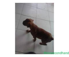 Female boxer puppy on sale at kathmandu