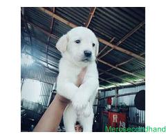 Lab male female puppy on sale at kathmandu