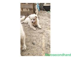 Female Spitz puppy on sale at kathmandu