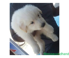 Full white GSD puppies on sale at kathmandu
